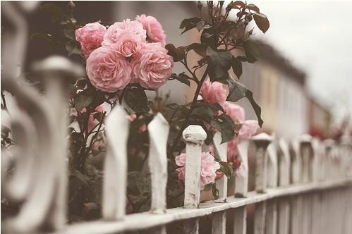 tumblr_static_roses